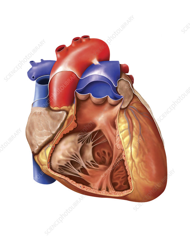 Heart and Right Ventricle, artwork
