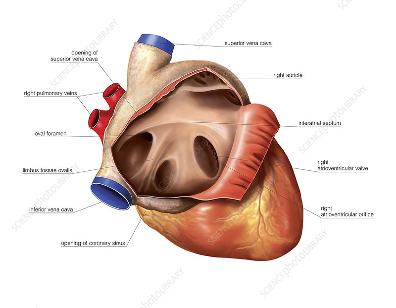 Heart, right atrium of newborn, artwork