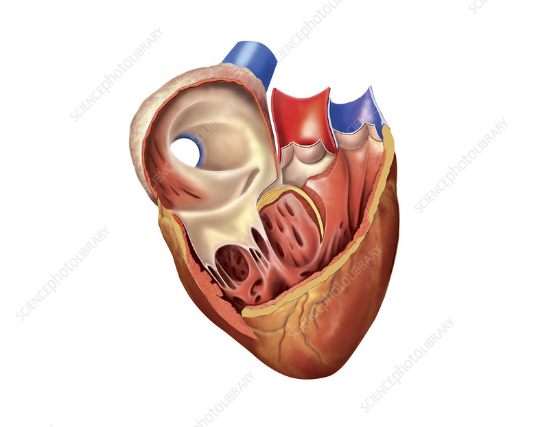Heart atrium and ventricle, artwork
