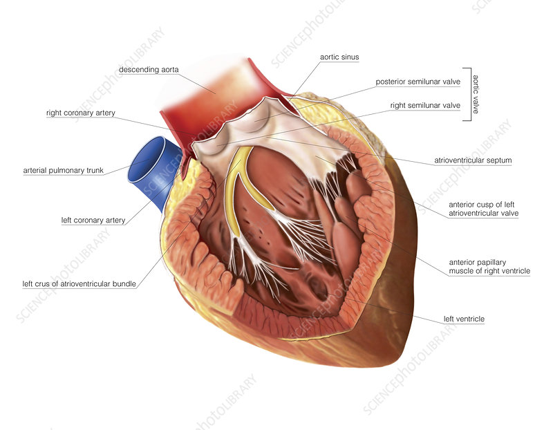 Heart, left ventricle, artwork