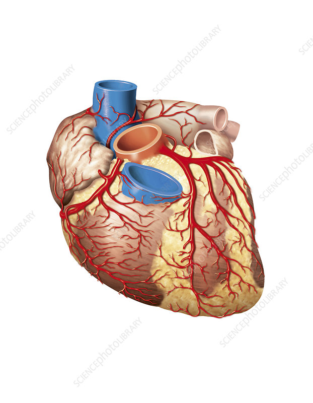 Heart and left coronary artery, artwork