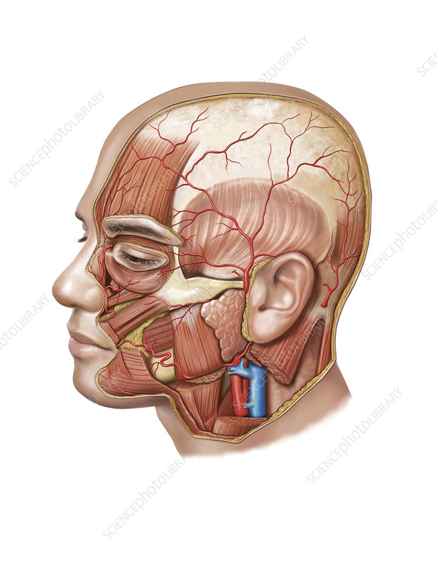 Head and Neck Arterial System, artwork