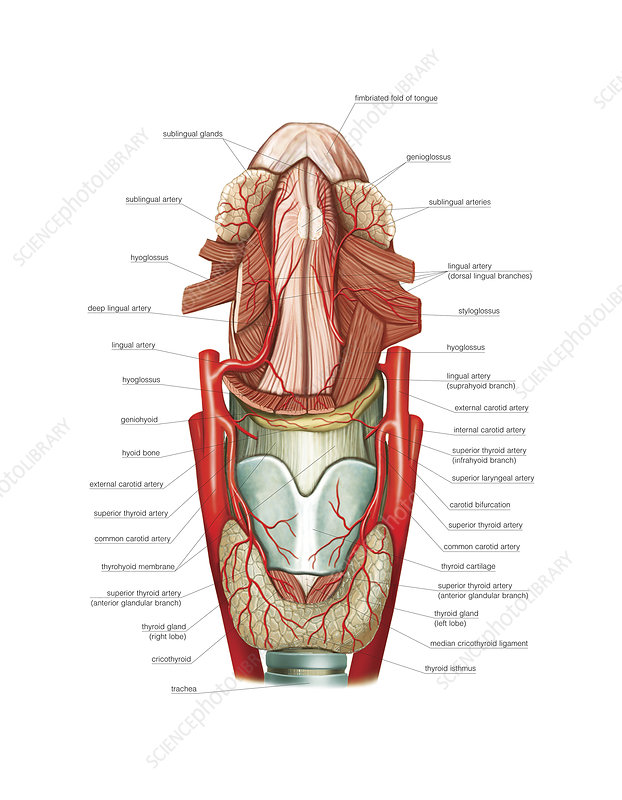 Arterial system of the tongue, artwork