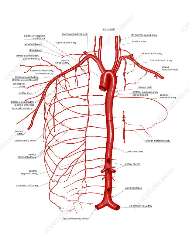 Arterial System Of Thoracic Wall Artwork Stock Image C0212025