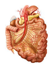 Arterial system of the intestines