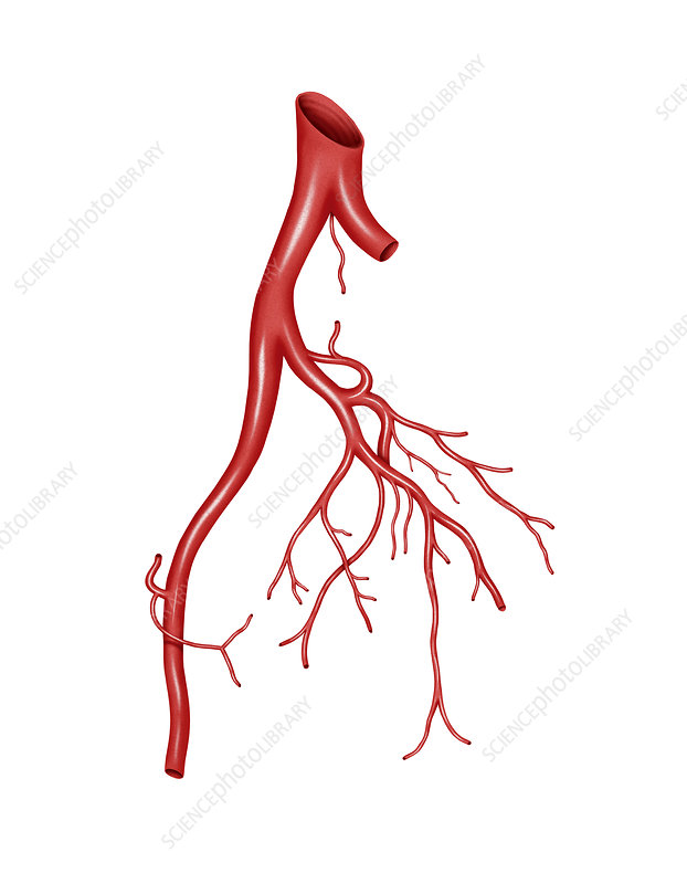 Arterial system of the abdomen, artwork