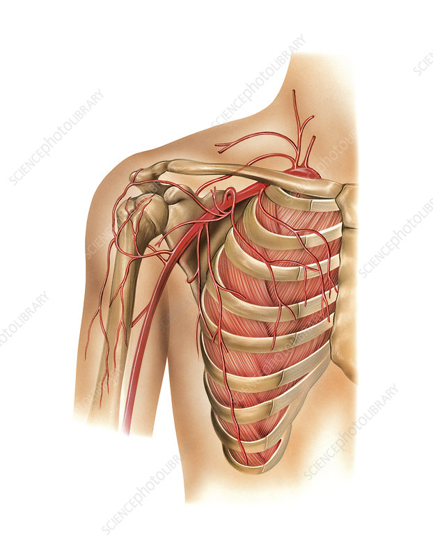 Arterial system of the shoulder, artwork