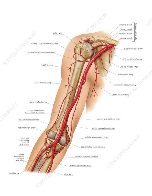 Arterial system of the arm, artwork