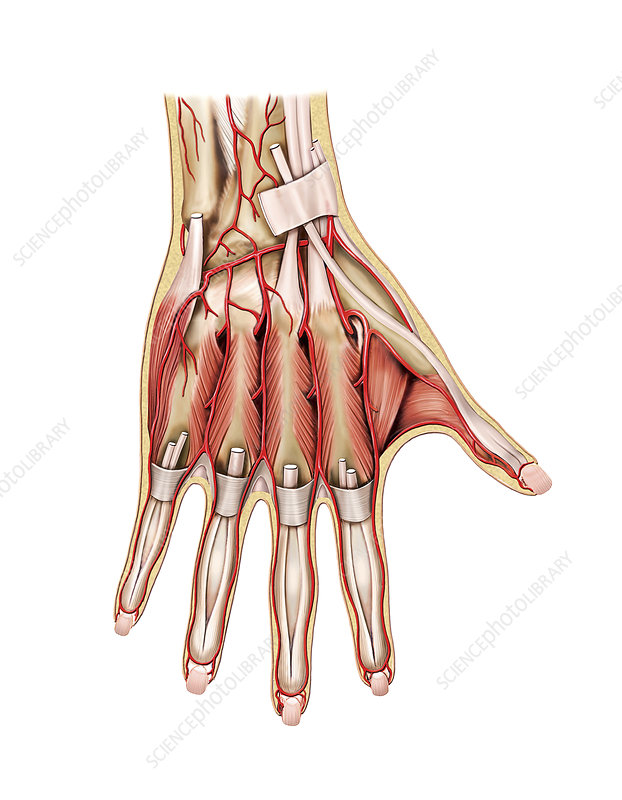 Arterial System Of The Hand Artwork Stock Image C0212078