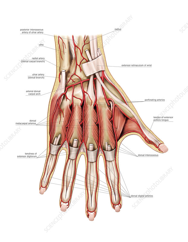 Arterial system of the hand, artwork