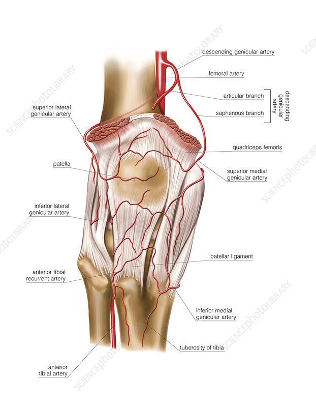 Femoral artery, artwork