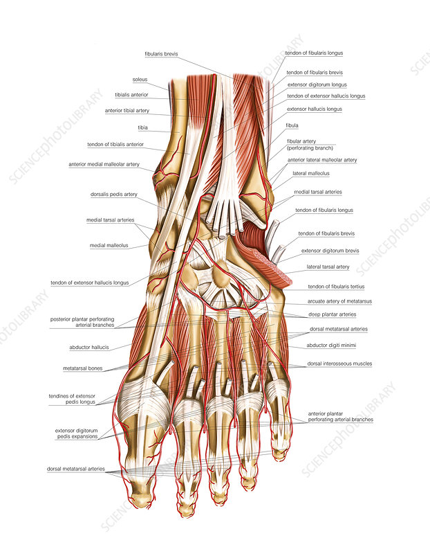 Arterial System Of The Foot Artwork Stock Image C0212109