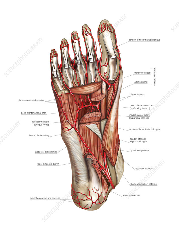Arterial system of the foot, artwork