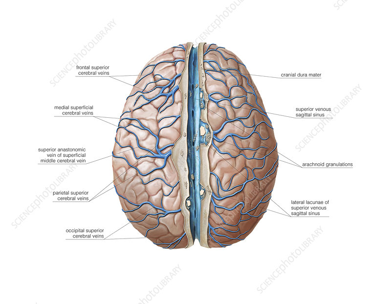 Venous system of the brain, artwork