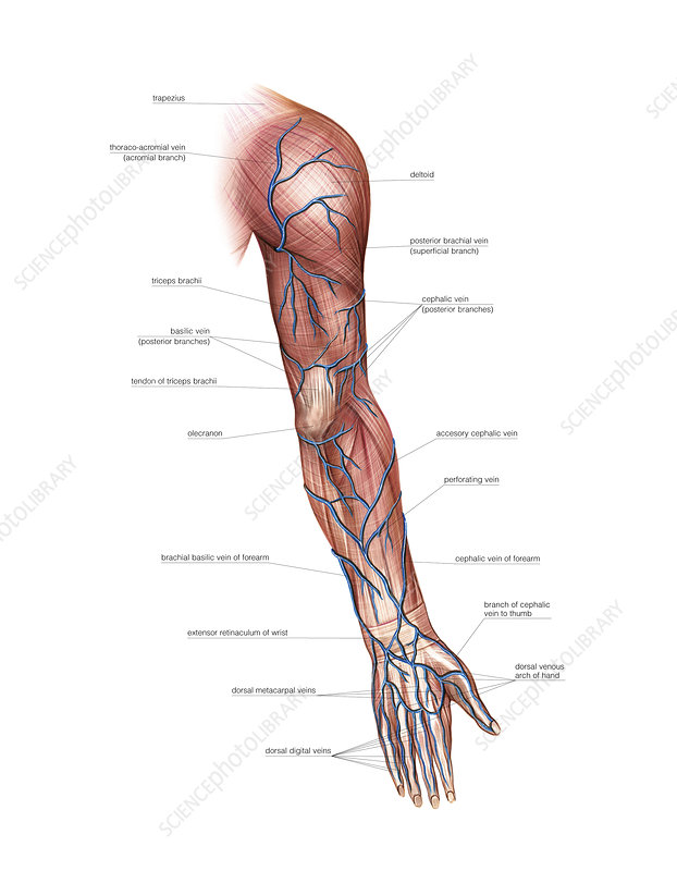 Venous system of the upper limb, artwork