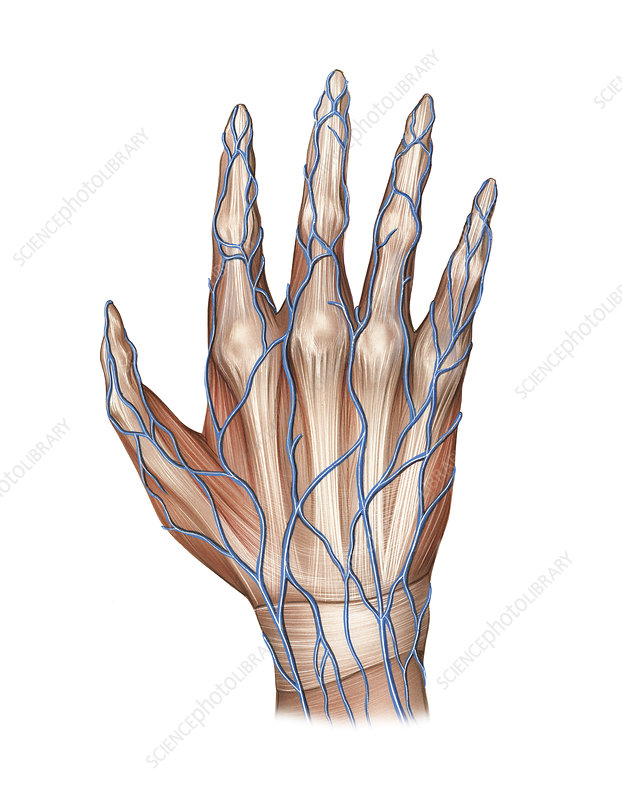 Venous system of the hand, artwork
