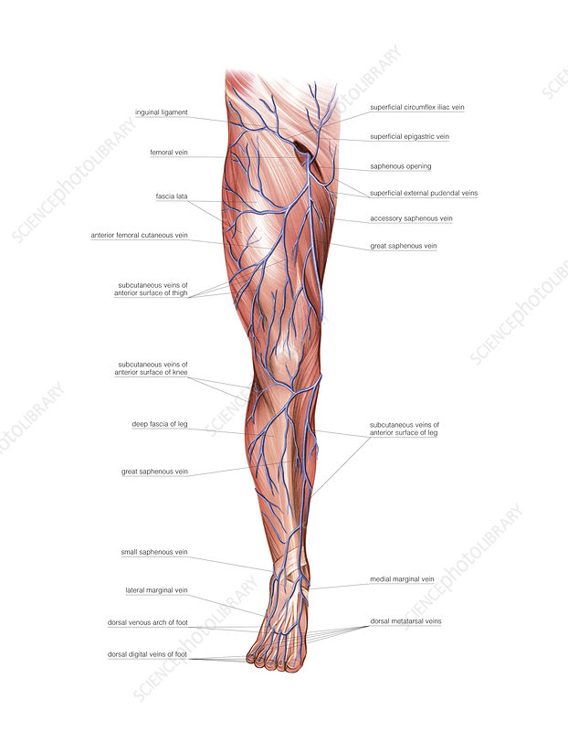 Venous system of the lower limb, artwork