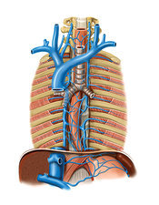 Venous system of the oesophagus, artwork