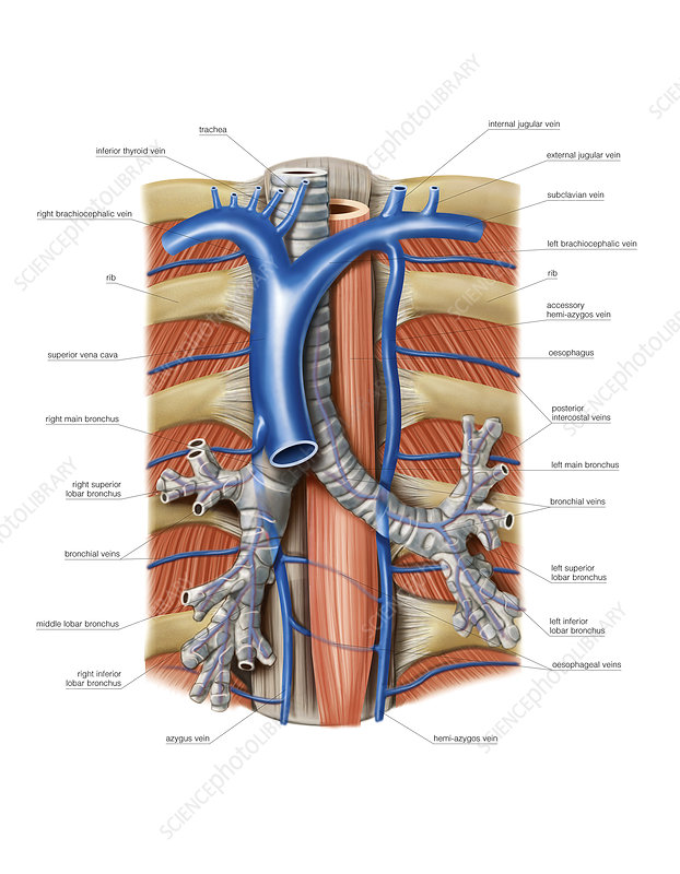 Venous system of the chest, artwork - Stock Image C021/2197 ...