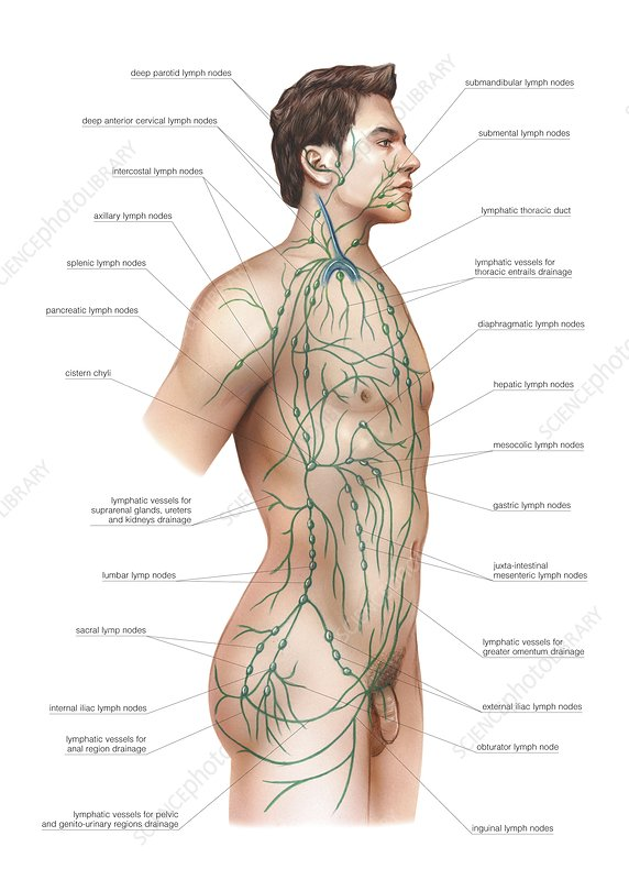 Lymphatic drainage, artwork
