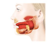 Major salivary glands, artwork
