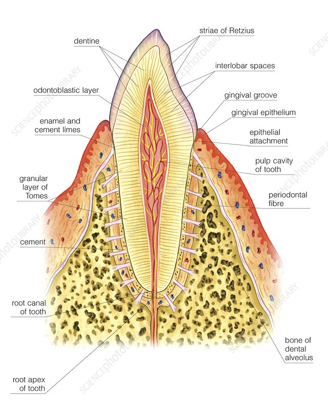 Structure of incisor tooth, artwork