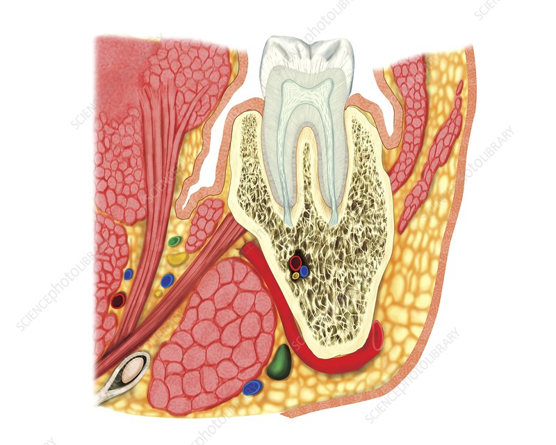 Structure of a molar, artwork