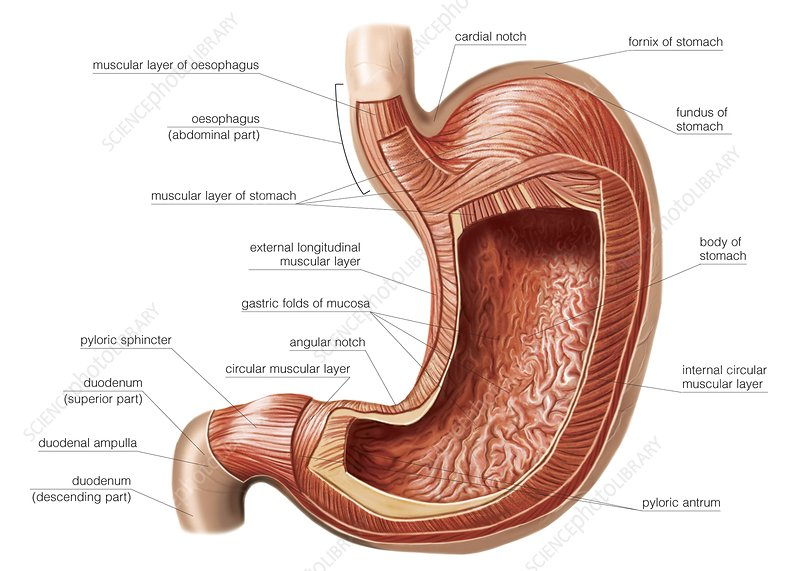 Stomach wall, artwork
