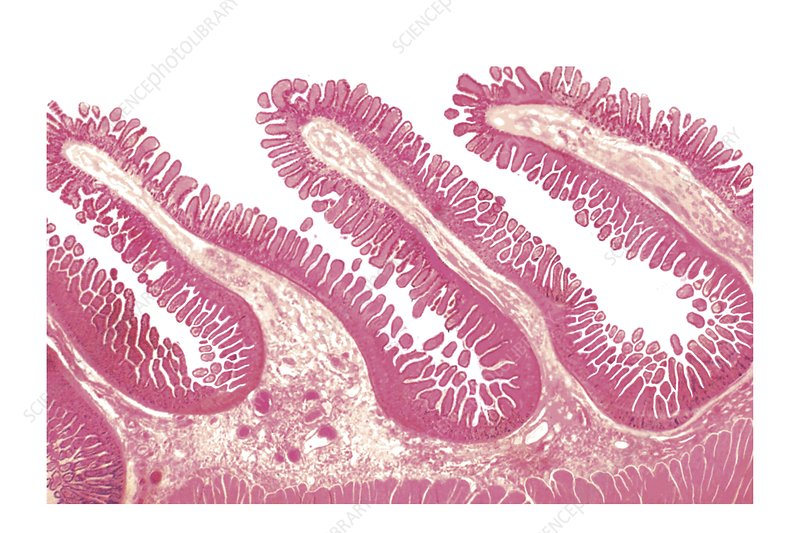 Structure of intestinal tract, artwork