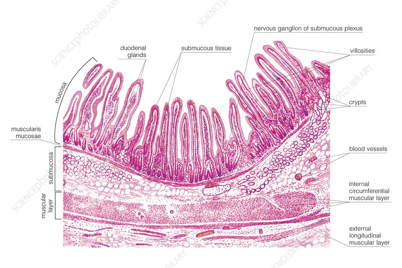 Structure of the duodenal wall, artwork