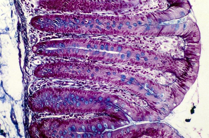 Colon lining, light micrograph