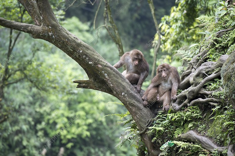 Tibetan Macaques in a tree at Mount Emei