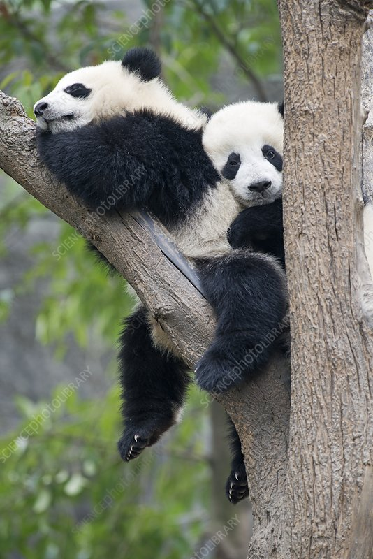 Juvenile Pandas in a tree