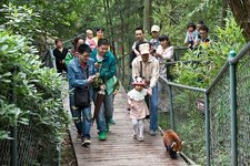 Red Panda followed by zoo visitors