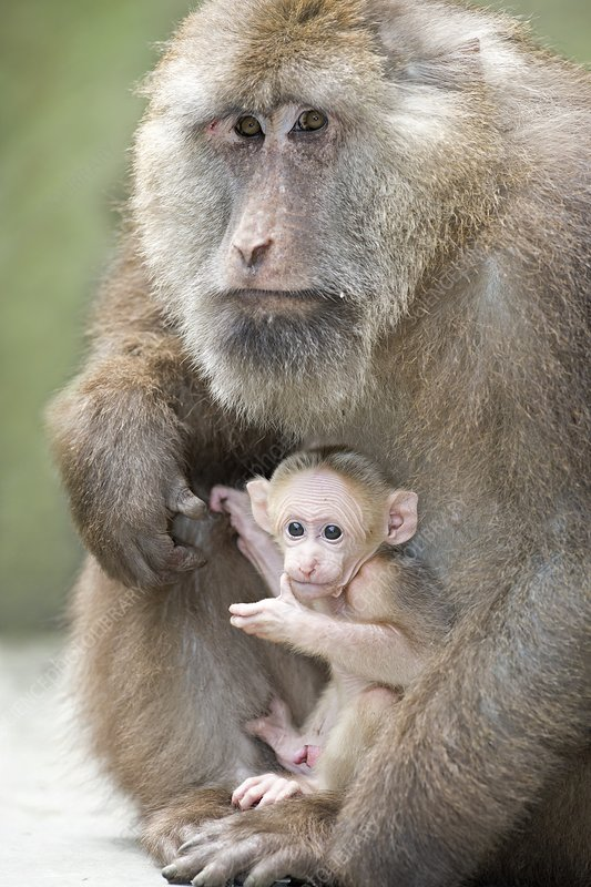 Tibetan Macaque male holding an infant - Stock Image C021 ...