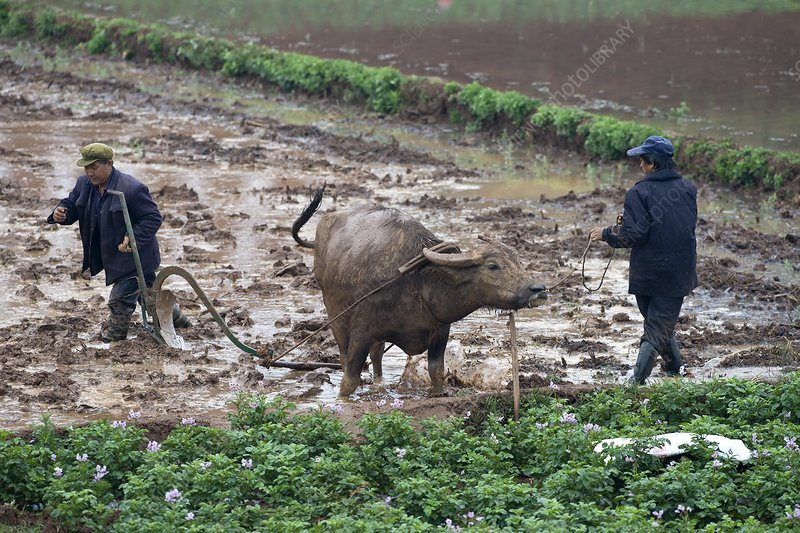 Asian water buffalo pulling plough