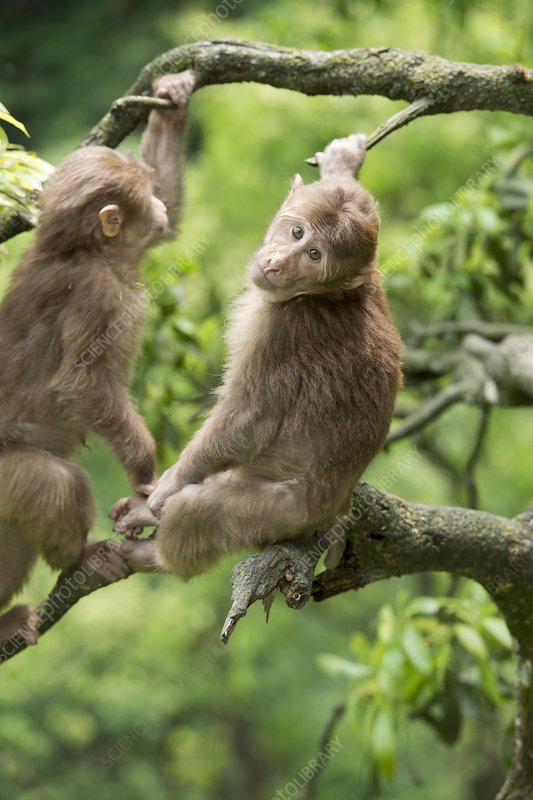 Juvenile Tibetan Macaques in a tree