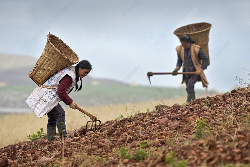 Female farm workers harvesting potatoes