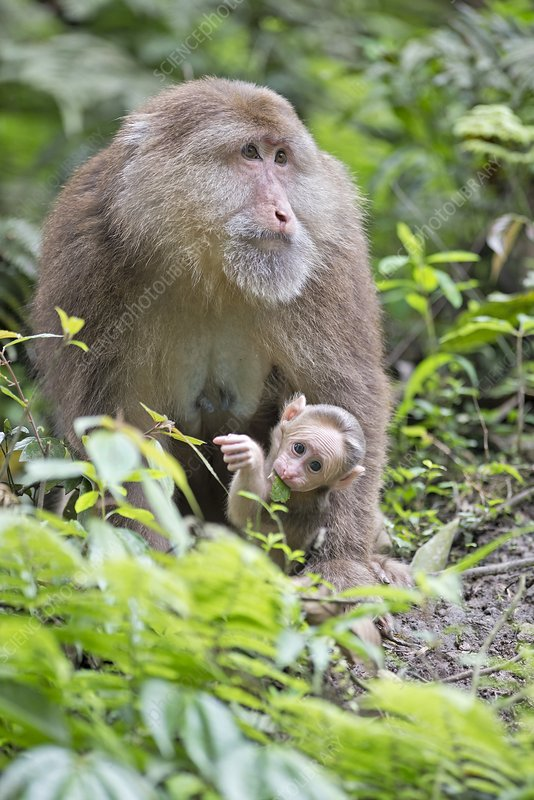 Tibetan Macaque mother with infant