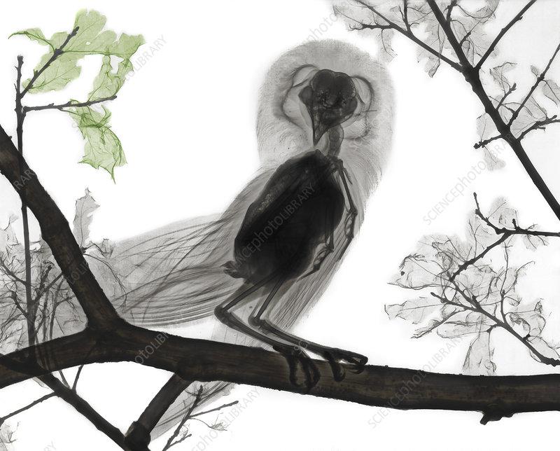 Barn owl, X-ray