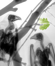Buzzards, X-ray