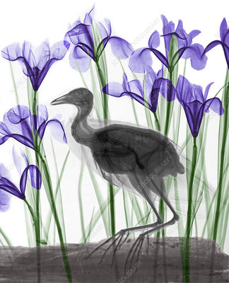 Coot and irises, X-ray