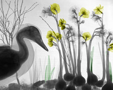 Duck and flowers, X-ray