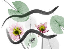 Eels and water lilies, X-ray