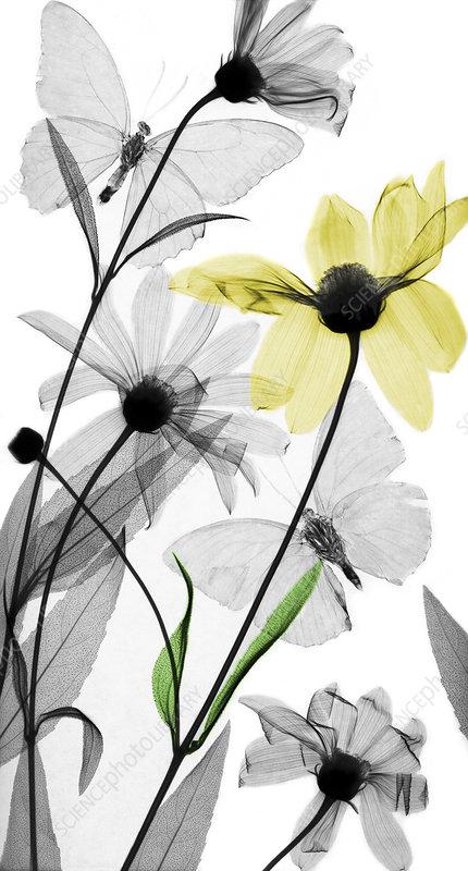 Helianthus and tuberose flowers, X-ray