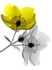 Hypericum flowers, X-ray