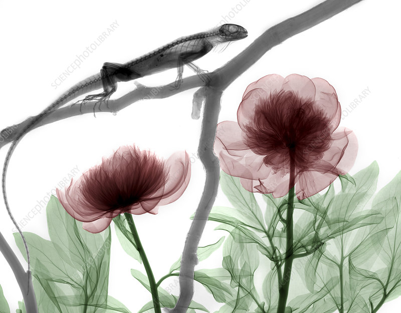 Iguana and peonies, X-ray