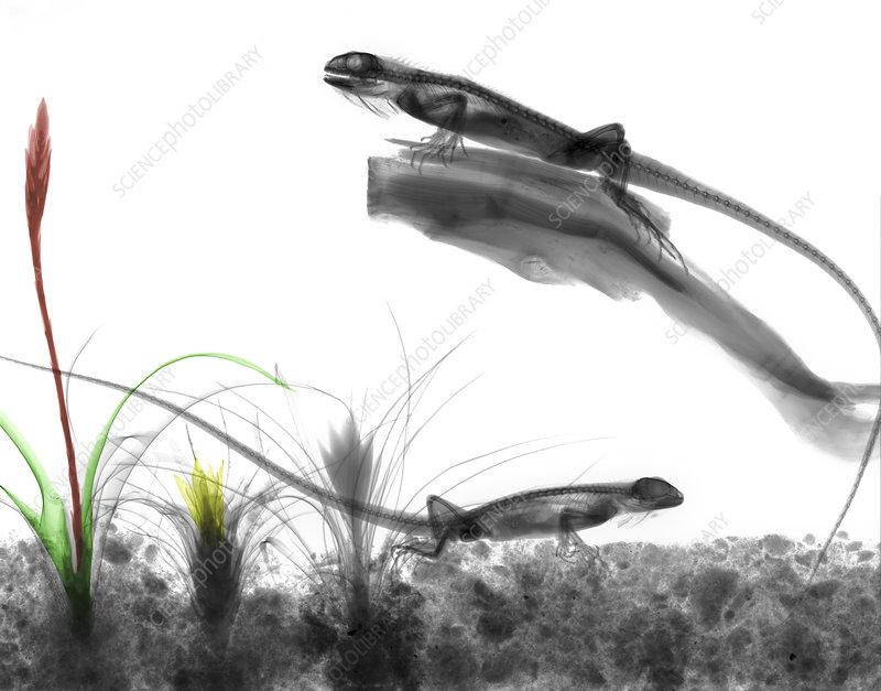Iguanas, X-ray