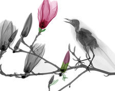 Blackbird on magnolia, X-ray