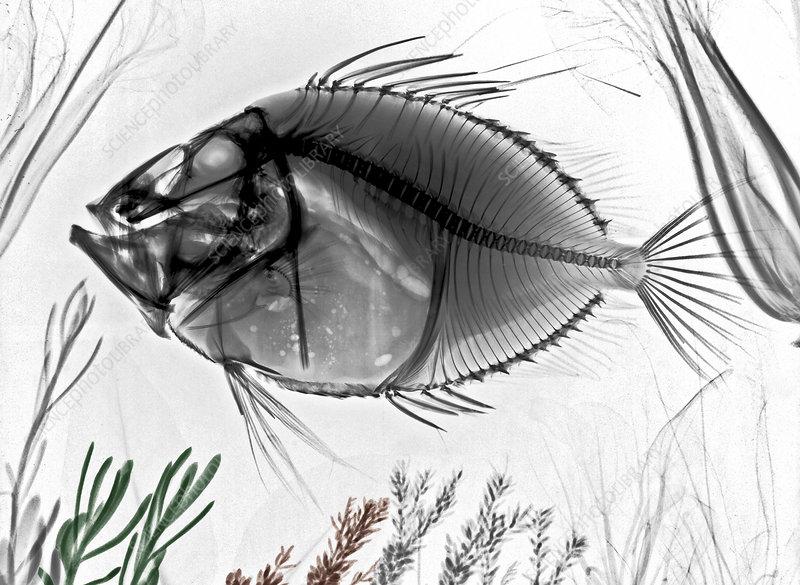 John Dory fish, X-ray